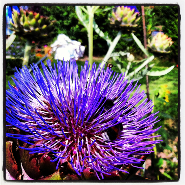 Artichoke flowers and bees midsummercottage.co.uk