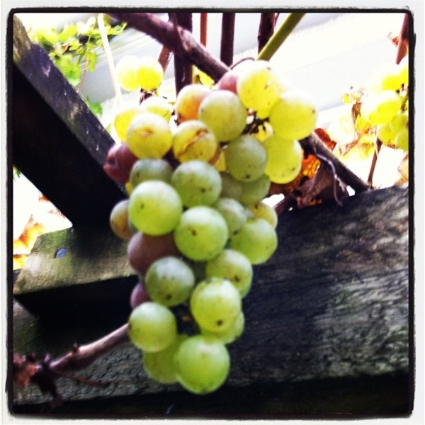 600 px Grapes midsummercottage.co.uk