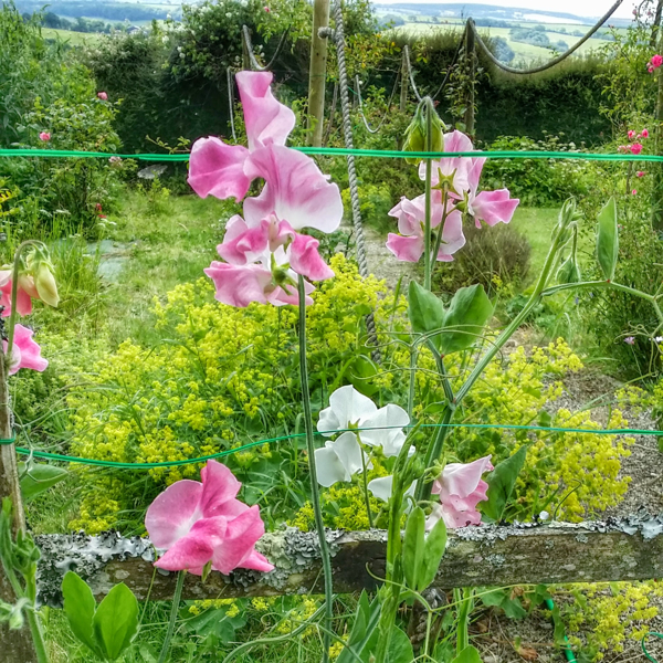 Sweet peas | West Devon Garden Blog
